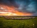 europa-sheep-more