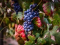 grapes-with-red-leaves