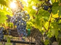 veraison-grapes-2